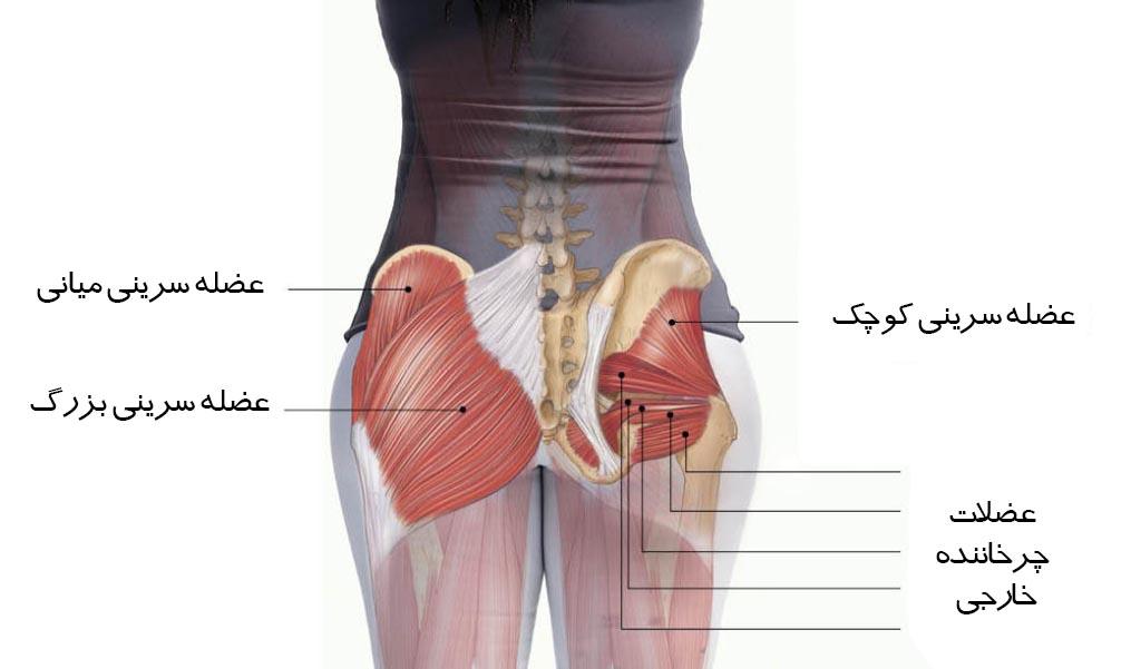 آناتومی عضلات باسن یا سرینی از چه قسمت هایی تشکیل شده؟ آیا اسکات بهترین حرکت ورزشی برای بزرگ کردن باسن است؟